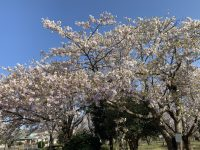 桜見物 幕張テニススクール